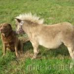 Европейская мини-лошадка Тюбик дружит с лабрадором Варей