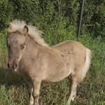 Alex LowRider, европейская мини-лошадь, 75% AMHA