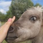 Питомник мини-лошадей LowRider: разведение, продажа маленьких лошадок, иппотерапия для детей