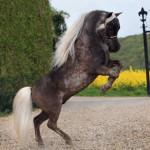 Shameless, Американская мини-лошадь, 100% AMHA