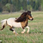 Mimi Hops S - Европейская мини-лошадь