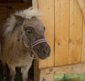 Alex LowRider, жеребчик европейской мини-лошади, октябрь 2014 г.