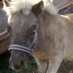 Alex LowRider, жеребчик европейской мини-лошади