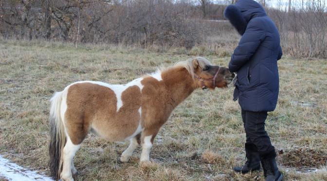 Минилошадка, шетлендский пони Алиса. Питомник минилошадей Lowrider