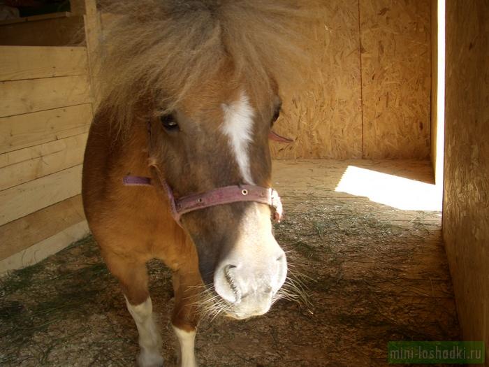 Шетлендский мини-пони Алиса
