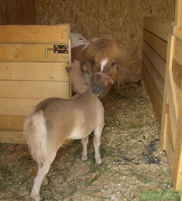 Шетлендский мини-пони Алиса и жеребенок европейской мини-лошади Тюбик - лучшие друзья
