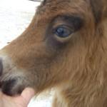 Бася LowRider, 1 месяц, мини-лошадь