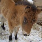 Бася LowRider, 1 месяц, мини-лошадка