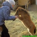 лошадка или собачка - питомник мини-лошадей LowRider