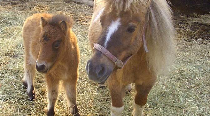 я и мама - питомник мини-лошадей LowRider