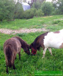 Большая дружба маленьких лошадей