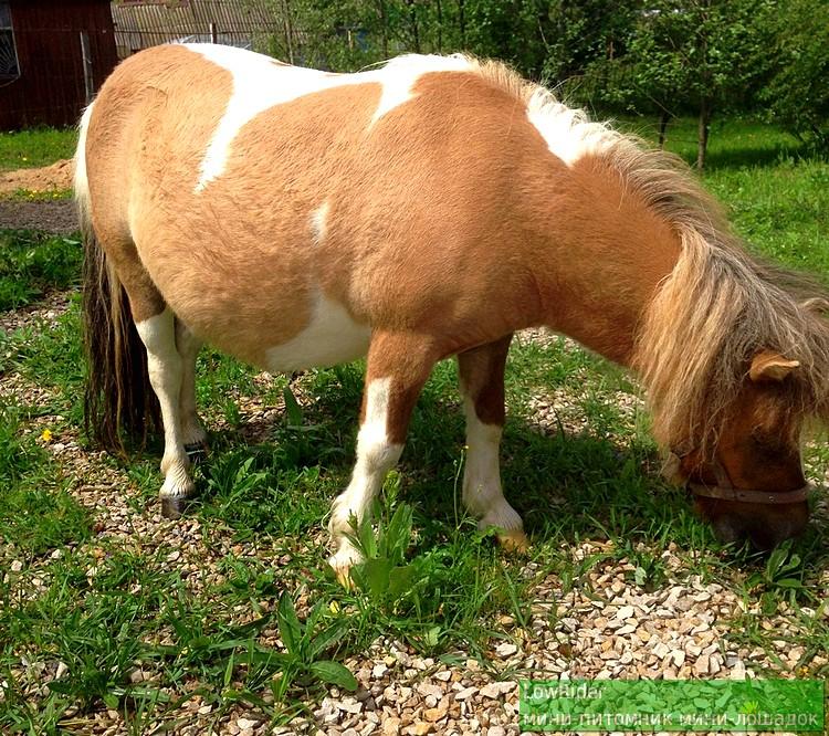 Алиса - мини-лошадка с хорошим аппетитом ). Ждем пополнения!