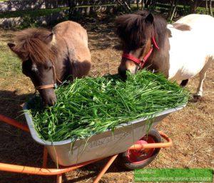 когда на пастбище особенно жарко, трава вырастает в тачке