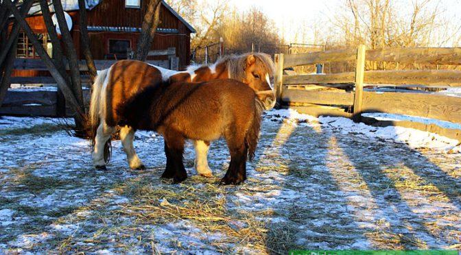 Мини-лошади зимой